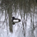 A Tufted Duck at the Peatlands